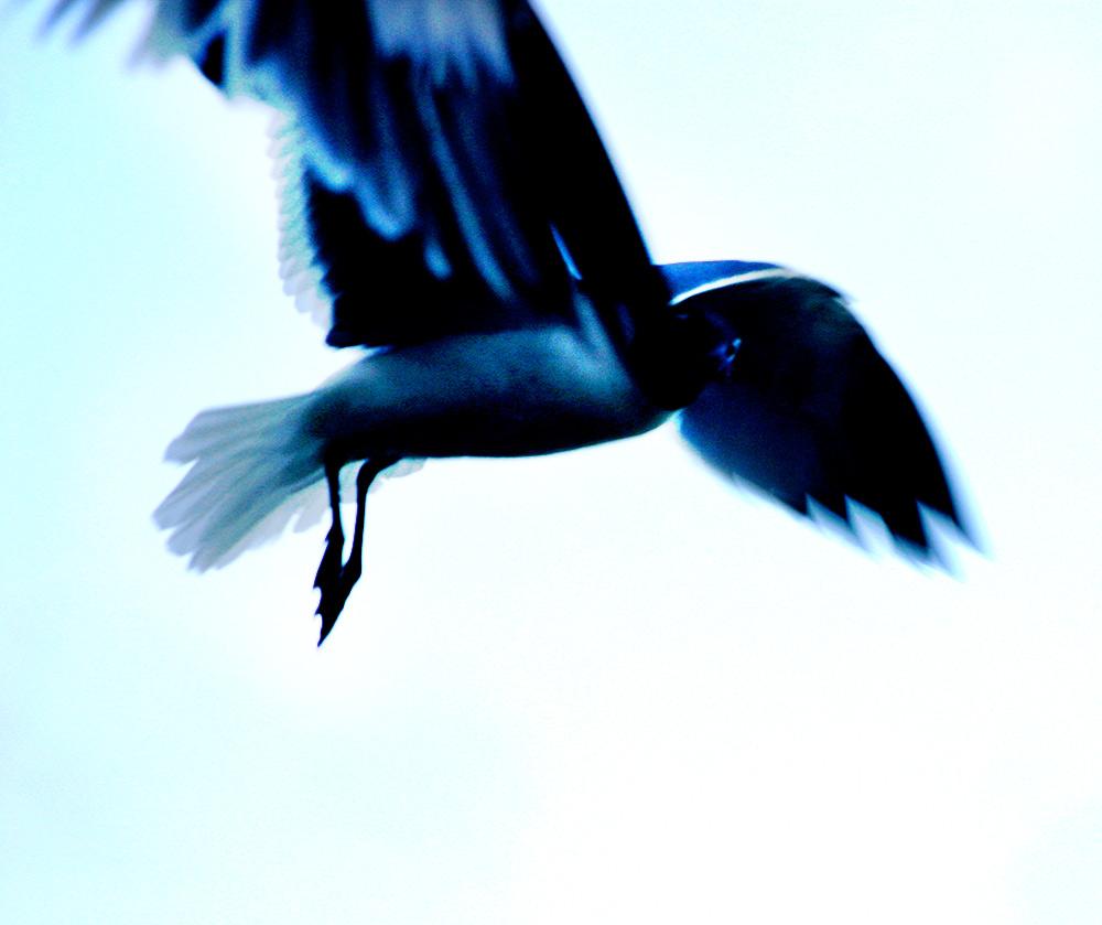 seagullstare